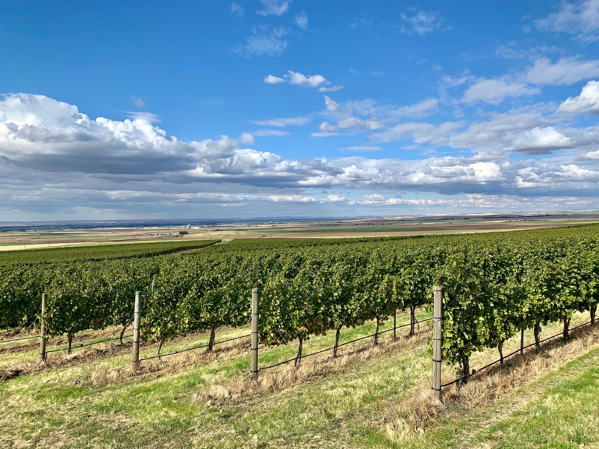 Vineyard grape rows of Zerba Wine Cellars in Walla Walla Valley Milton-Freewater, Oregon